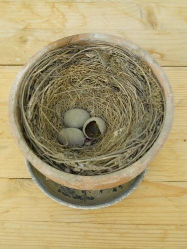 nido,vaso,uova,merla,balcone,metropoli,citta,mistero,natura