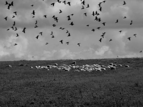 campagna romana,pecore,erba,nuvole,storni,roma,autunno